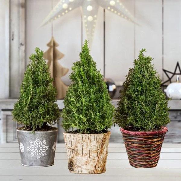 600x600 christmas plant